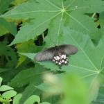 Tierwelt im bei Garten-sehr iele verschiedene Schmetterlinge, leider kamerascheu
